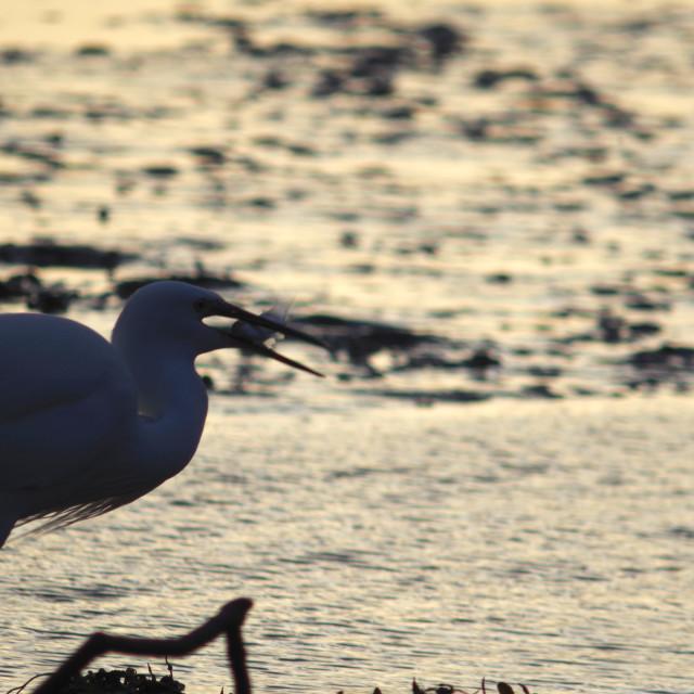 """Little Egret Catches a Fish."" stock image"