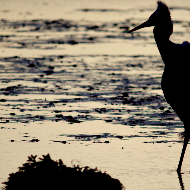 """""""Silhouetted Lone Little Egret."""" stock image"""