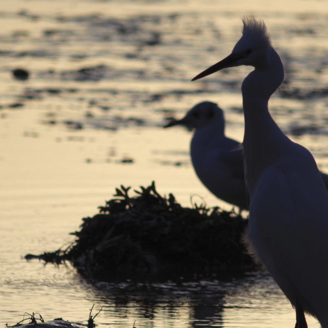 """Little Egret and Gull."" stock image"