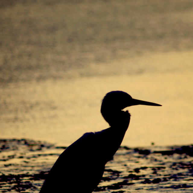 """""""Silhouetted Little Egret."""" stock image"""