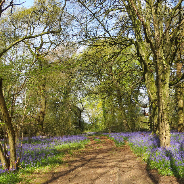 """""""Bluebells in the woods in April"""" stock image"""