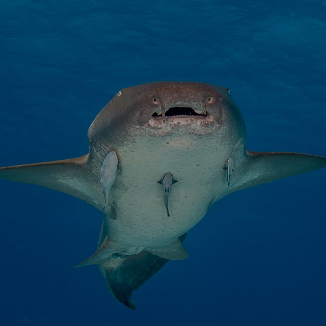 """nurse shark, Ginglymostoma cirratum"" stock image"
