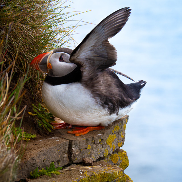"""Puffin standing outdoors"" stock image"
