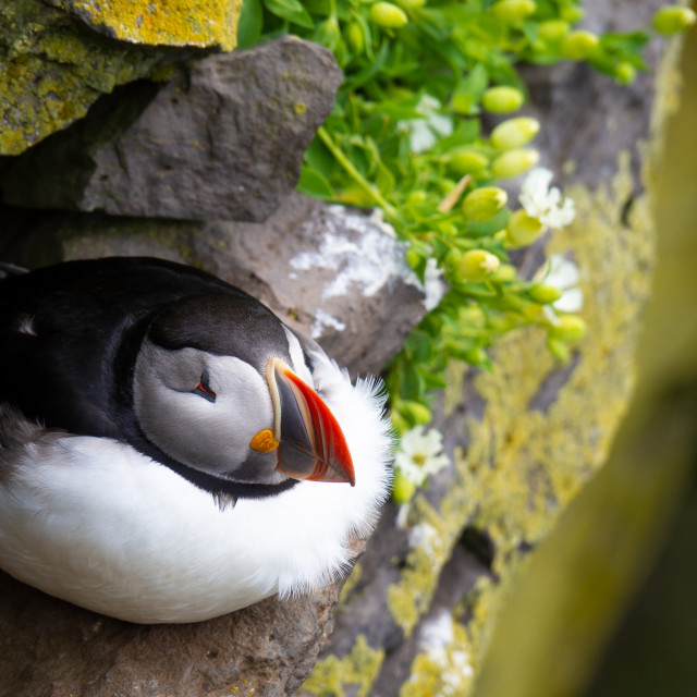 """Atlantic puffin on the rock."" stock image"