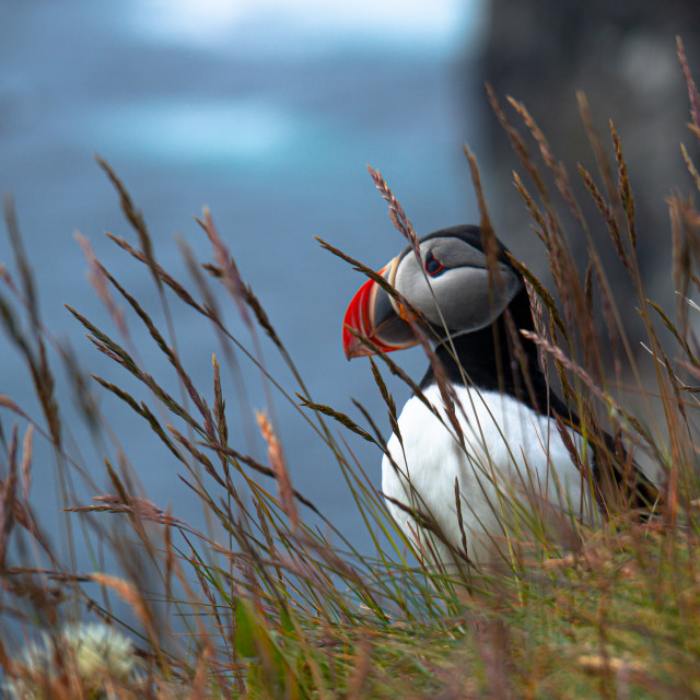 """Atlantic puffin on the cliff"" stock image"