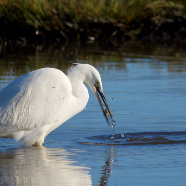 """Little Egret with Fish in Beak."" stock image"