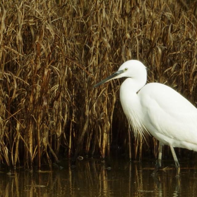 """""""Little Egret Fishing."""" stock image"""