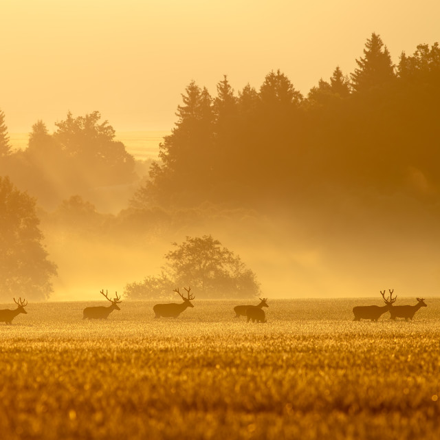 """""""Red deer herd with stags on a field at sunrise in spring"""" stock image"""