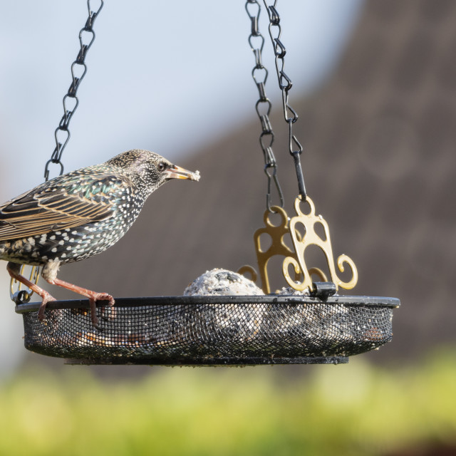 """Starling (Sturnus vulgaris) feeding from a hanging wire mesh tray"" stock image"