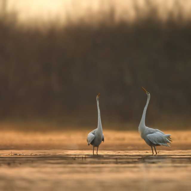 """Great Egrets Dance at Sunrise"" stock image"
