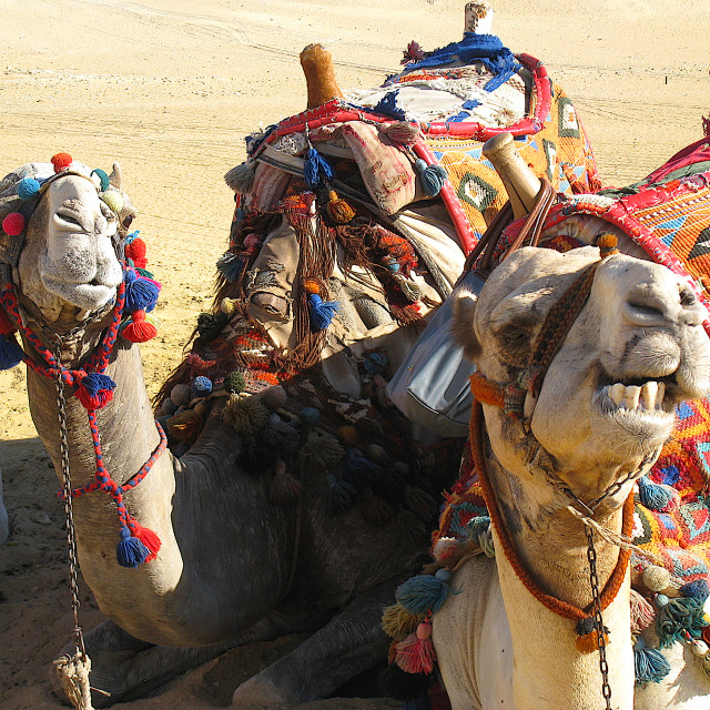 """""""Smiley camels in Egypt"""" stock image"""