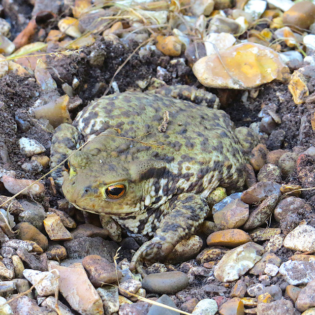 """""""Toad in hiding in the gravel"""" stock image"""