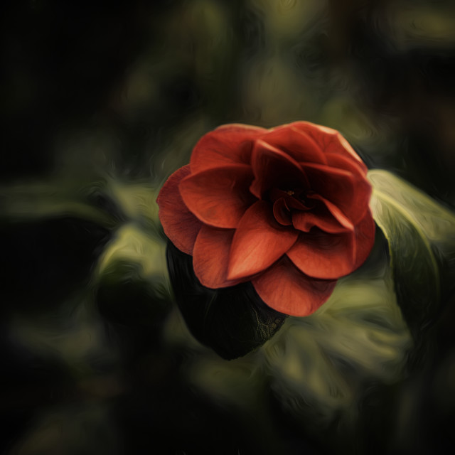 """""""Red Camelia"""" stock image"""