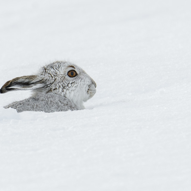 """""""Mountain Hare in the snow"""" stock image"""