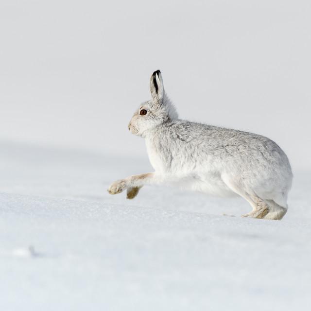 """Mountain Hare on the run"" stock image"
