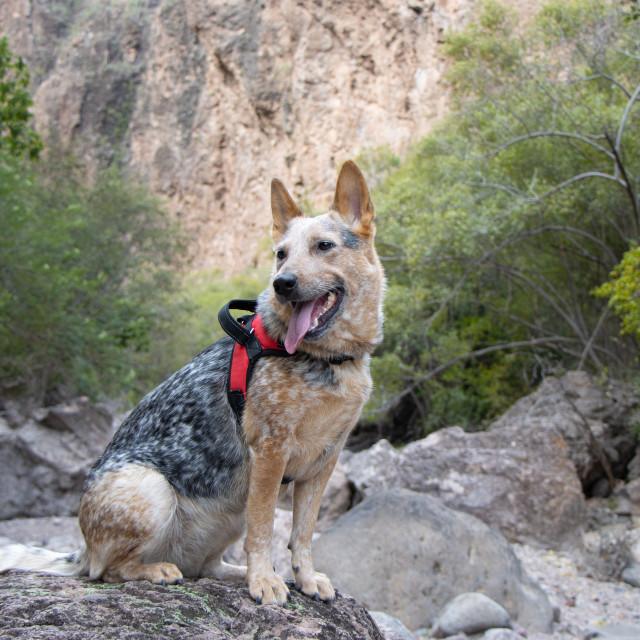 """australian cattle dog on a hiking trip"" stock image"