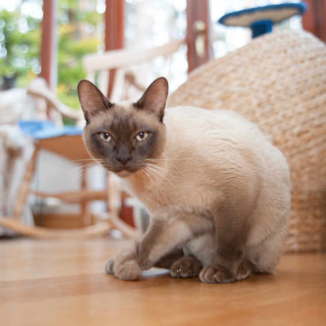 """Siamese cat"" stock image"