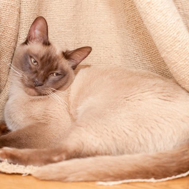 """sleepy cute Siamese cat"" stock image"
