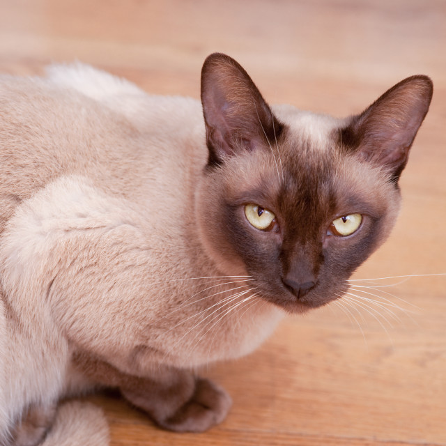 """Siamese cat 2"" stock image"