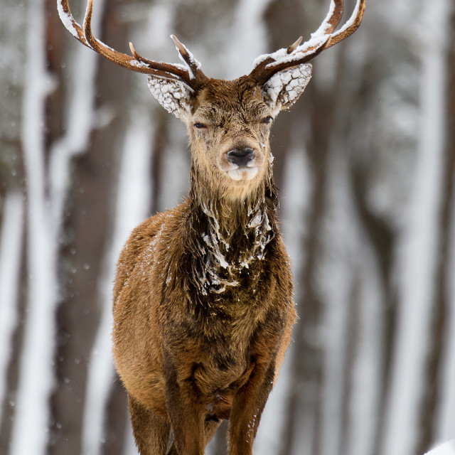 """""""Stag in the snow"""" stock image"""