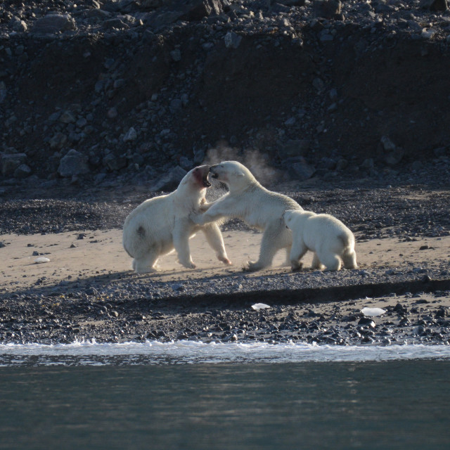 """Male and female polar bears ifighting. Cub observes"" stock image"