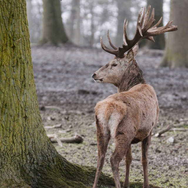 """Red Deer in the forest"" stock image"