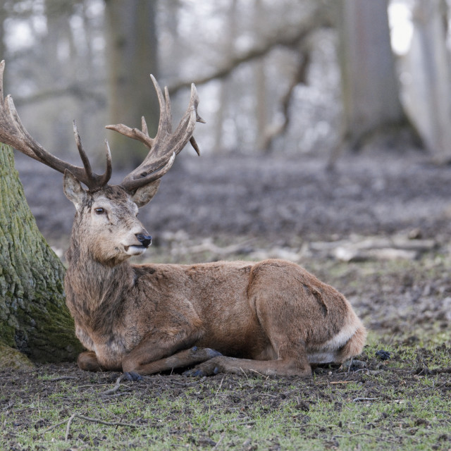 """Red Deer laying down in the forest"" stock image"
