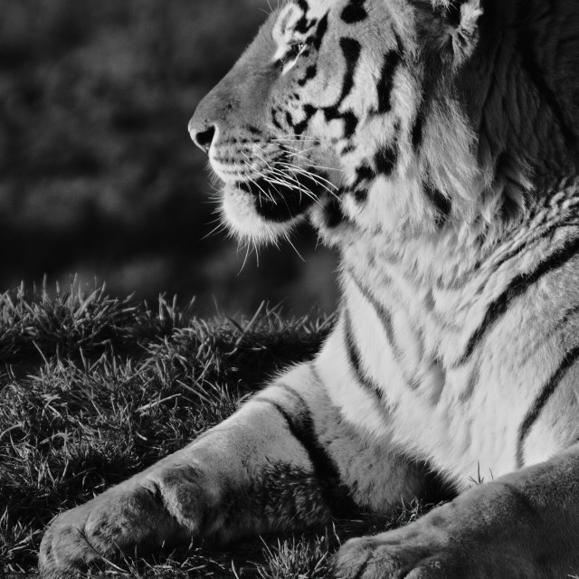"""Tiger (Black & White)"" stock image"