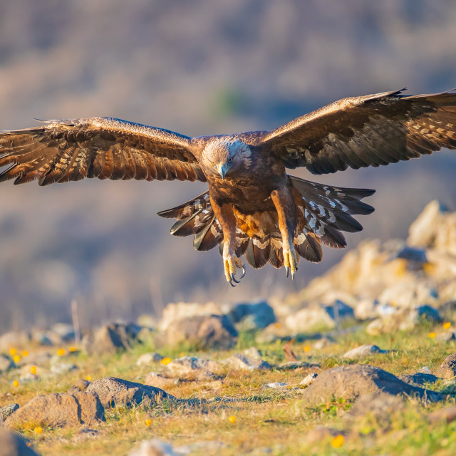 """Golden eagle - Aquila chrysaetos"" stock image"