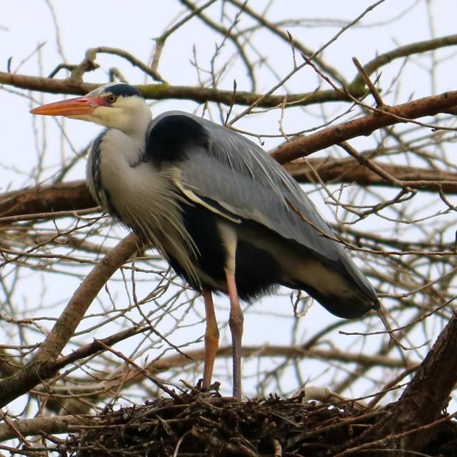 """""""Heron in Redcar's Locke Park."""" stock image"""