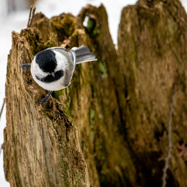 """""""Chickadee perched on mossy, decomposed tree stump"""" stock image"""