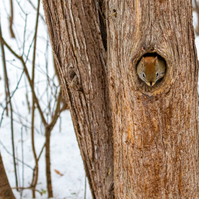 """""""Red squirrel emerges from hole in hollow tree"""" stock image"""