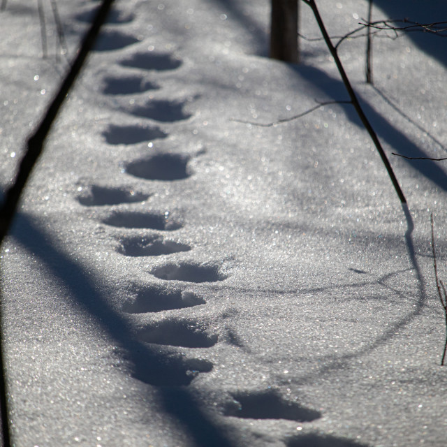"""""""Animal tracks through deep snow in forest"""" stock image"""