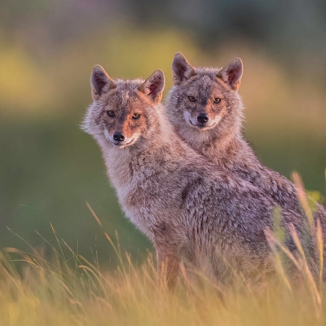 """""""Two golden jackals looking straight in the lens"""" stock image"""