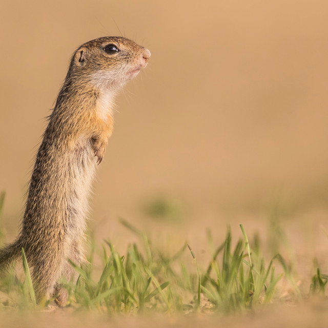 """""""Ground squirrel standing straight up"""" stock image"""