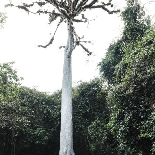 """""""Man and a Tree at Tikal"""" stock image"""