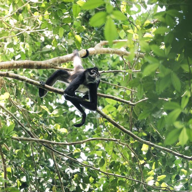 """Howler Monkey chilling at Tikal"" stock image"