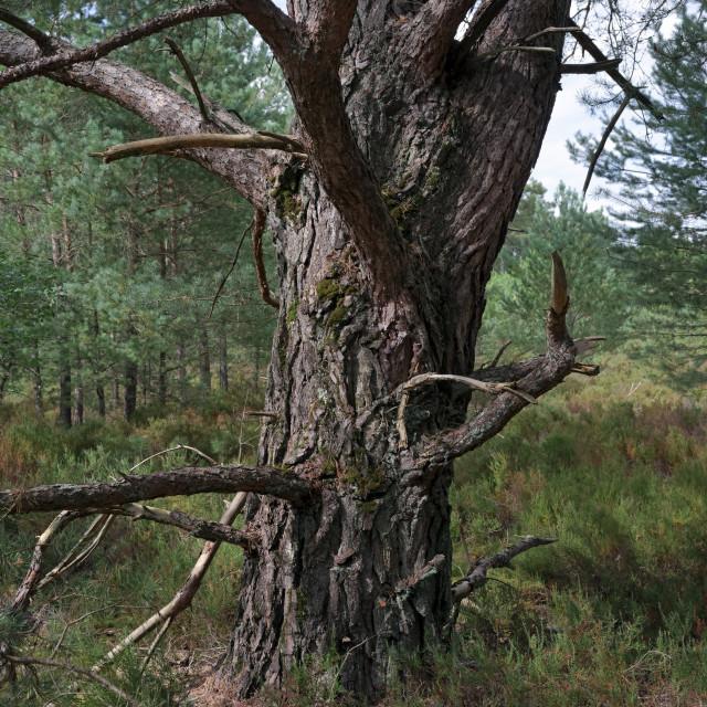 """Old tree in Trois Pignons"" stock image"