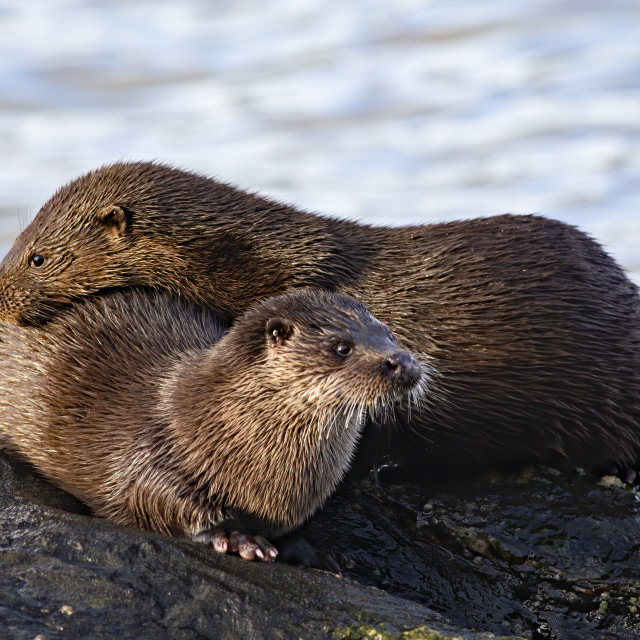 """Isle of Bute Otters"" stock image"