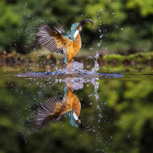 """Kingfisher"" stock image"