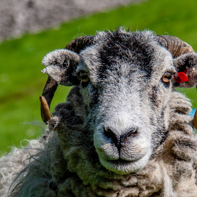 """""""Horned Sheep in Yorkshire Dales Field"""" stock image"""
