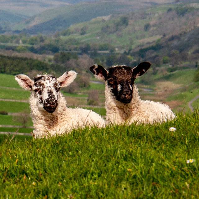 """Lambs in Yorkshire Dales"" stock image"