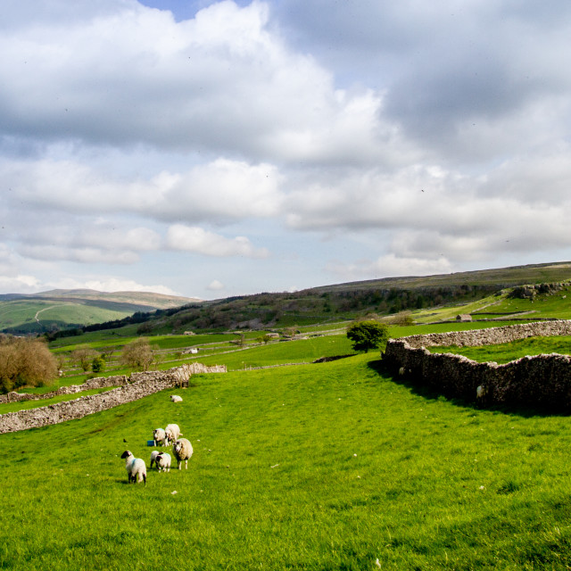 """Sheep in Yorkshire Dales"" stock image"