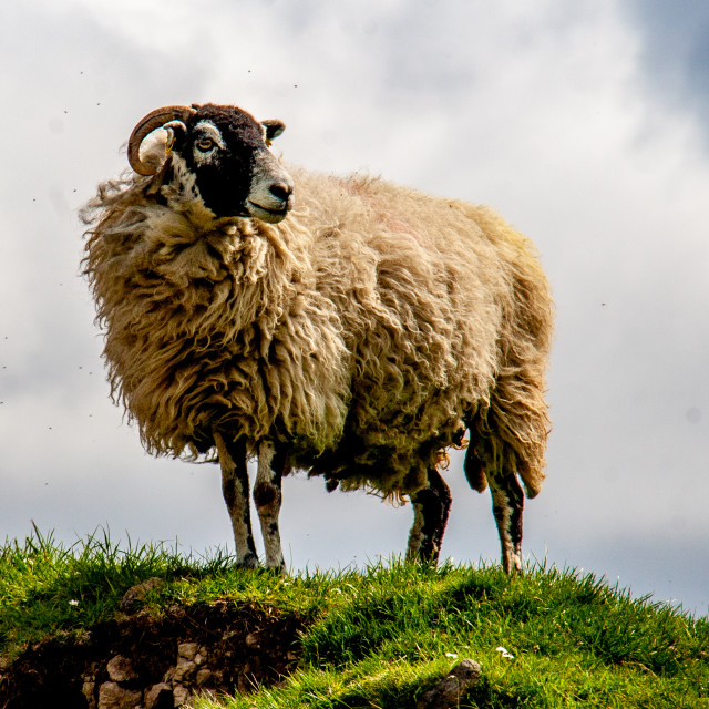 """Swaledale Sheep in Yorkshire Dales"" stock image"