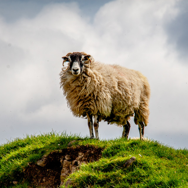 """""""Swaledale Sheep in Yorkshire Dales"""" stock image"""