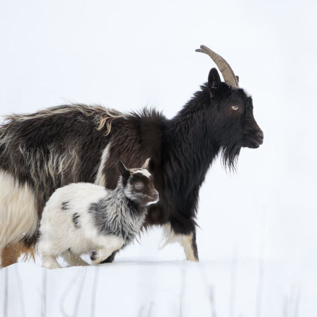 """Feral Goat & Kid"" stock image"
