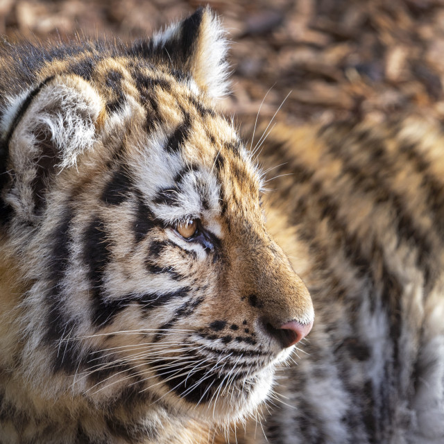 """Male Amur tiger cub"" stock image"
