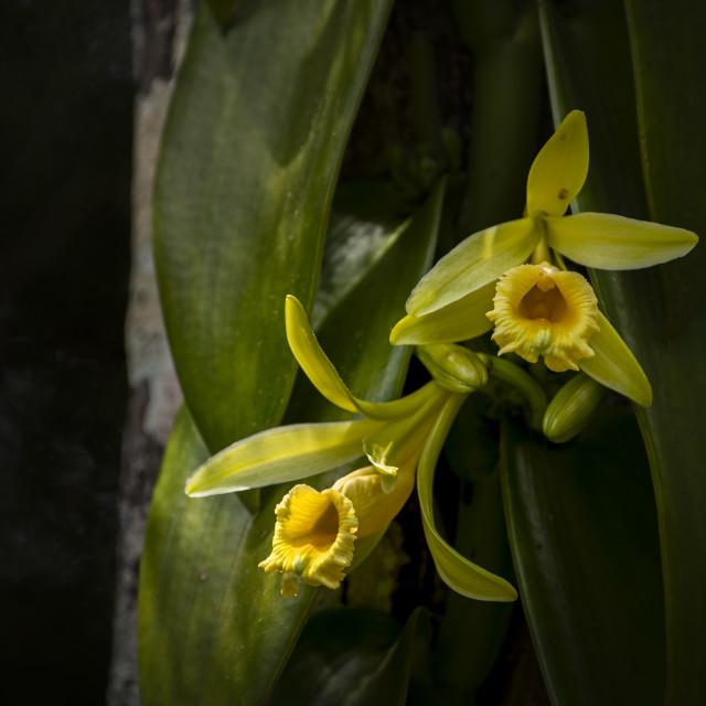 """2 Yellow vanilla orchid flowers"" stock image"