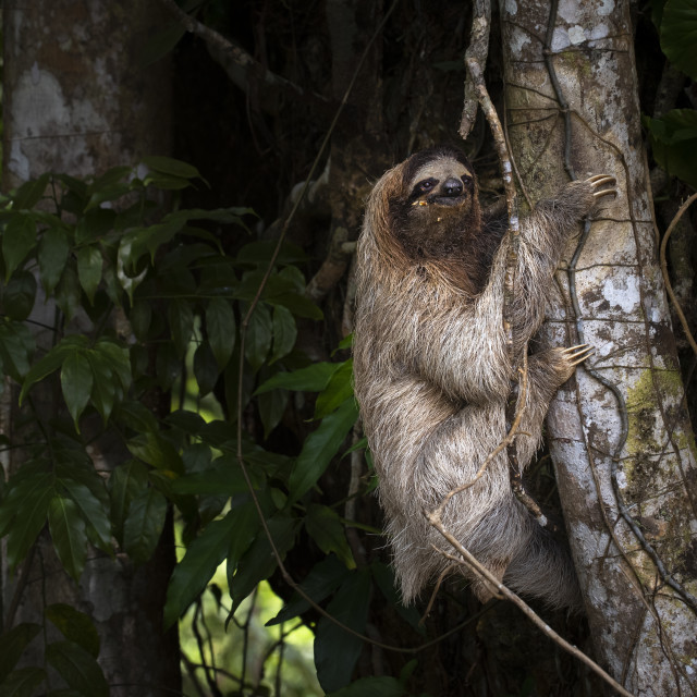 """""""Brown-throated three-toed sloth"""" stock image"""