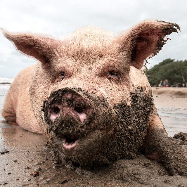 """""""happy Pig playing in mud at beach"""" stock image"""